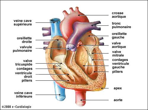 e-Cardiologie : l'infarctus du myocarde